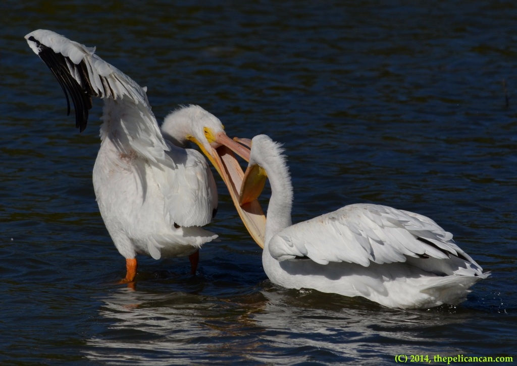 Two American white pelicans (Pelecanus erythrorhynchos) fight for a favored loafing spot at White Rock Lake in Dallas, TX