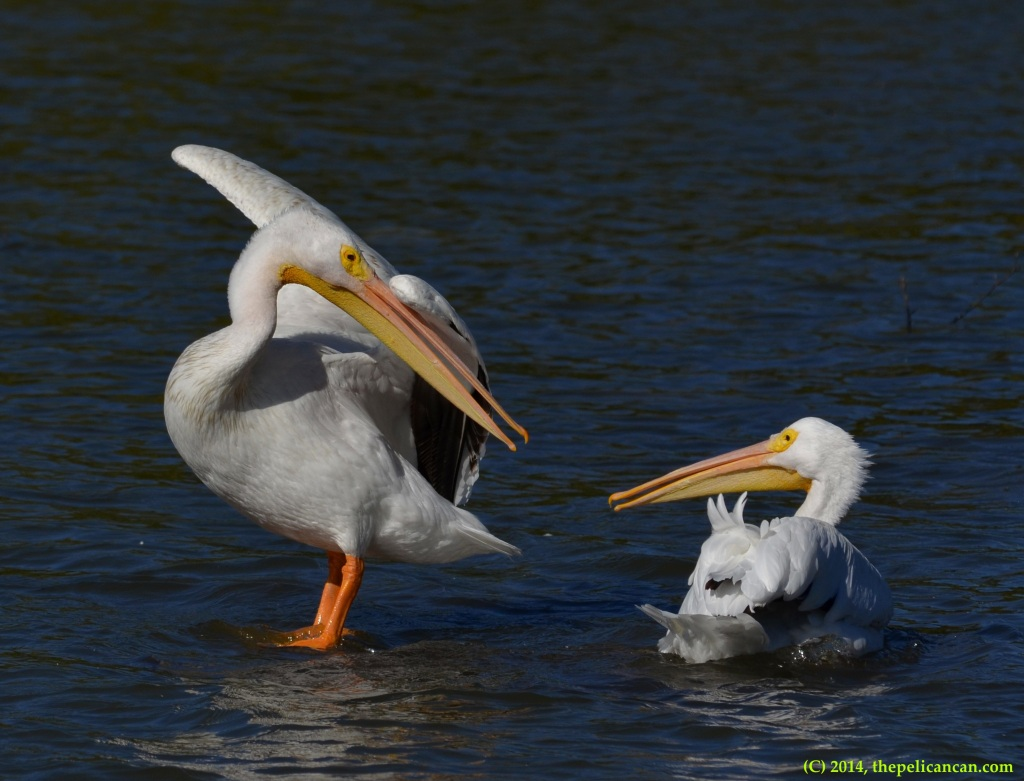 Two American white pelicans (Pelecanus erythrorhynchos) squabble over a favored loafing spot at White Rock Lake in Dallas, TX
