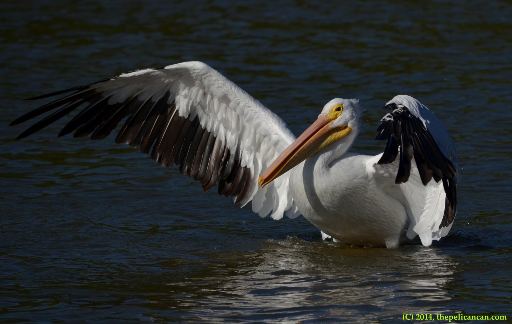 American white pelican flaps her wings at White Rock Lake in Dallas, TX