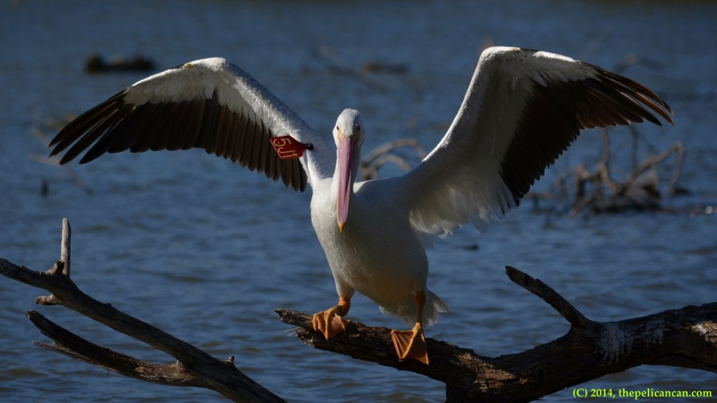 5J1, an American white pelican (Pelecanus erythrorhynchos) originally from the Minidoka WMR in Idaho, perches on a log at White Rock Lake in Dallas, TX