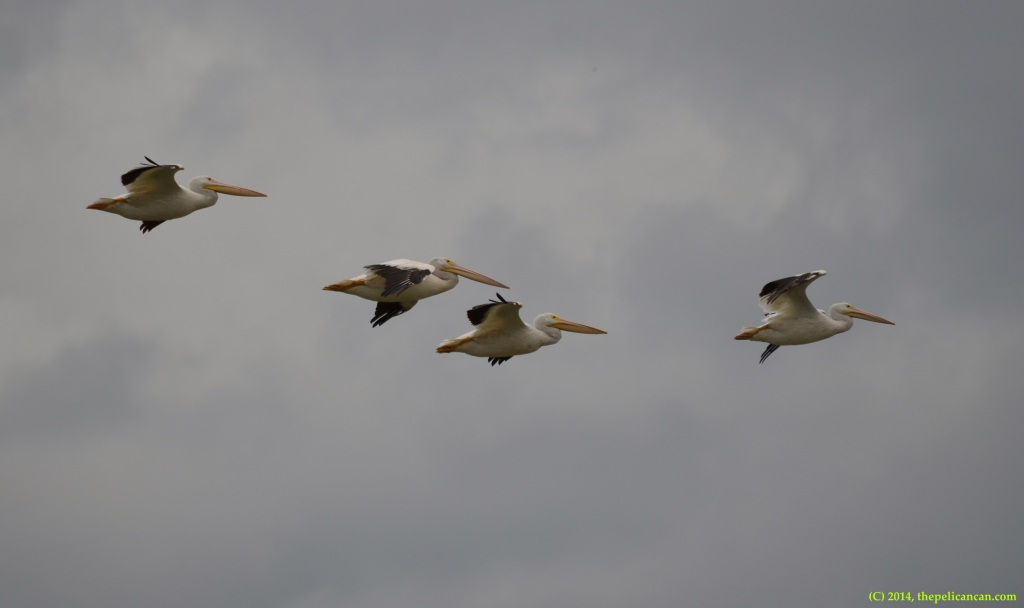 Juvenile American white pelicans (Pelecanus erythrorhynchos) fly overhead at Richland Creek WMA in Fairfield, Texas