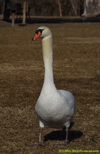 Mute swan (Cygnus olor) walking in the park at White Rock Lake in Dallas, TX