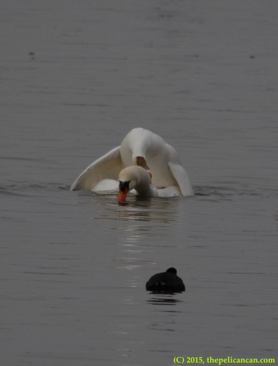 Goose mating with mute swan (Cygnus olor) at White Rock Lake in Dallas, TX
