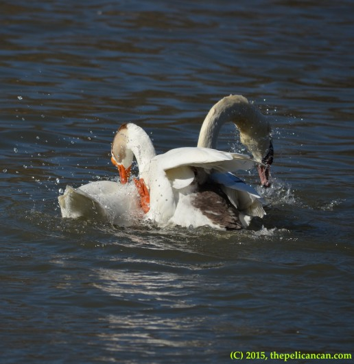 Goose mounts a mute swan (Cygnus olor) for copulation at White Rock Lake in Dallas, TX