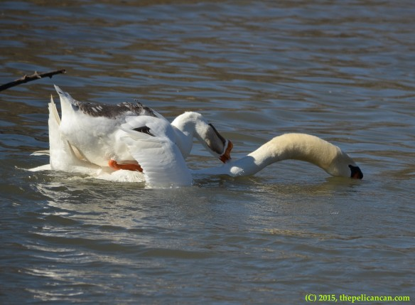 Goose attempts to copulate with mute swan (Cygnus olor) at White Rock Lake in Dallas, TX