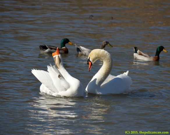 Goose and mute swan (Cygnus olor) perform post-copulatory displays after mating at White Rock Lake in Dallas, TX