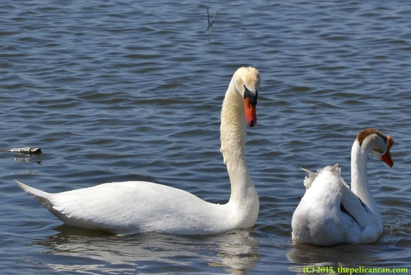 Mute swan (Cygnus olor) and goose engage in pre-copulatory display before mating at White Rock Lake in Dallas, TX
