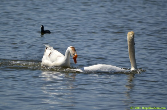 Goose attempts to mount mute swan (Cygnus olor) at White Rock Lake in Dallas, TX