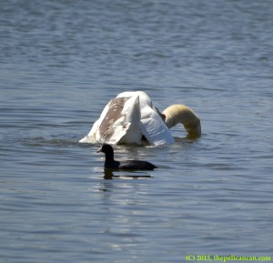 Goose mounts mute swan (Cygnus olor) and attempts copulatory activity at White Rock Lake in Dallas, TX