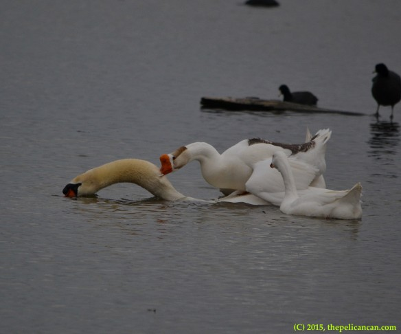 Goose attempts copulatory activity with mute swan (Cygnus olor) at White Rock Lake in Dallas, TX