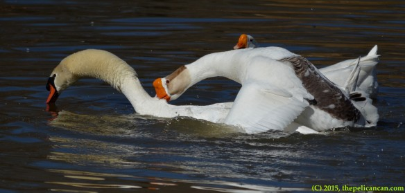 Goose and mute swan (Cygnus olor) copulate at White Rock Lake in Dallas, TX