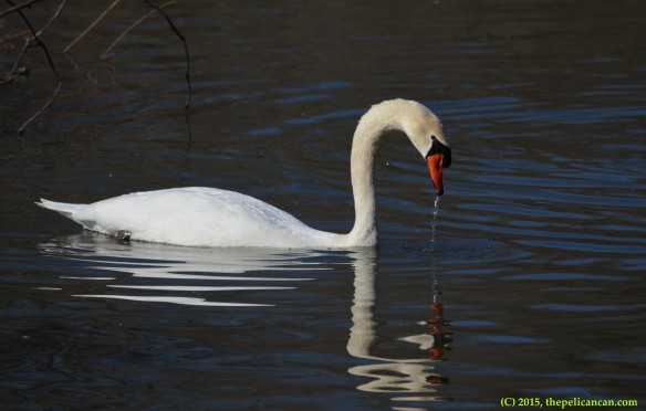 Mute swan (Cygnus olor) engages in courtship displays at White Rock Lake in Dallas, TX