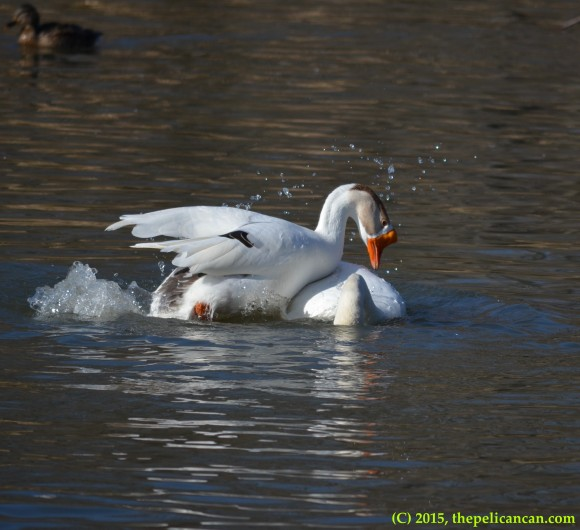 Goose mounts mute swan (Cygnus olor) to mate with her at White Rock Lake in Dallas, TX