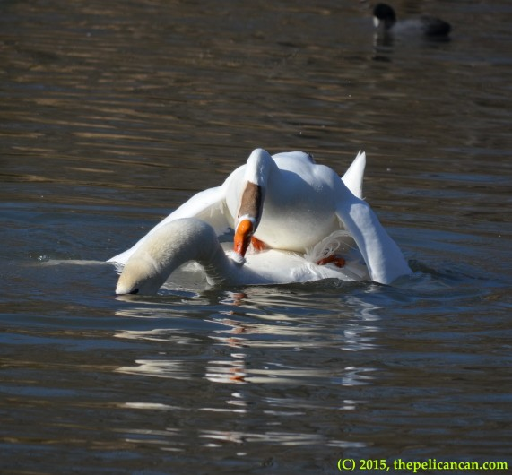 Goose and mute swan (Cygnus olor) mate together at White Rock Lake in Dallas, TX