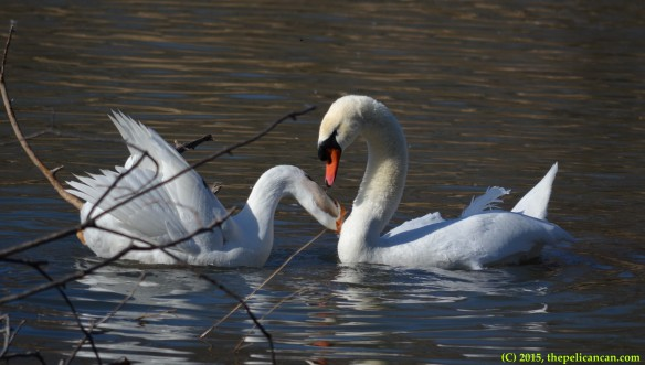 Goose bites mute swan (Cygnus olor) after mating with her at White Rock Lake in Dallas, TX