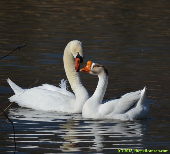 Goose and mute swan (Cygnus olor) after mating at White Rock Lake in Dallas, TX