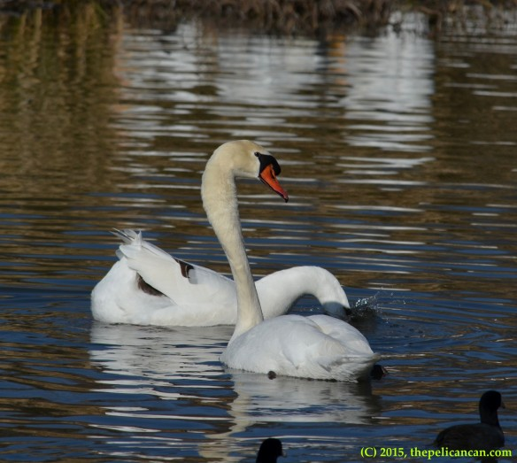 Goose and mute swan (Cygnus olor) engage in courtship displays before mating at White Rock Lake in Dallas, TX