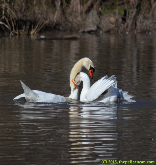 Goose and mute swan (Cygnus olor) after copulation at White Rock Lake in Dallas, TX