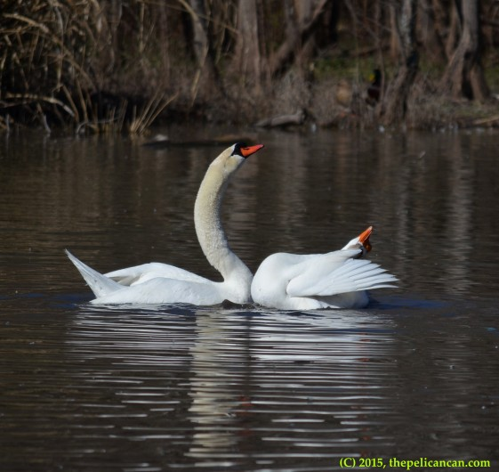 Goose and mute swan (Cygnus olor) engage in post-copulatory displays at White Rock Lake in Dallas, TX