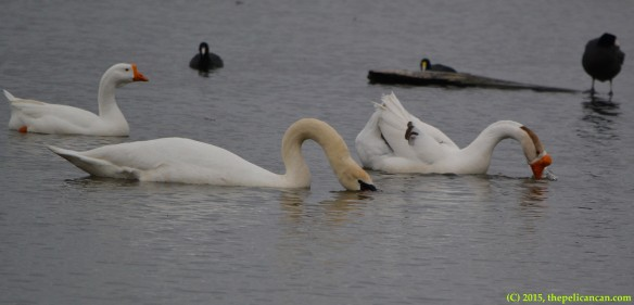 Mute swan (Cygnus olor) and goose engage in courtship/pre-copulatory displays before mating at White Rock Lake in Dallas, TX