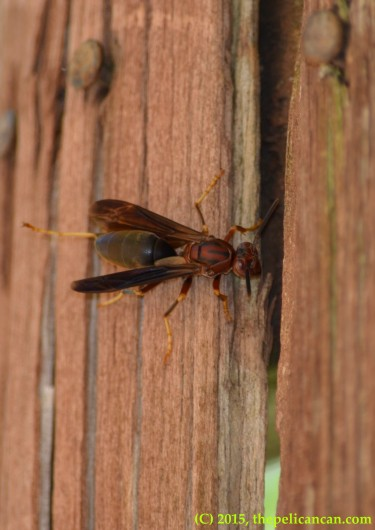 Paper wasp (Polistes metricus) on wood in Dallas, TX