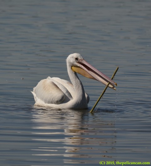 Juvenile American white pelican (Pelecanus erythrorhynchos) plays with a bamboo fishing pole at White Rock Lake in Dallas, TX