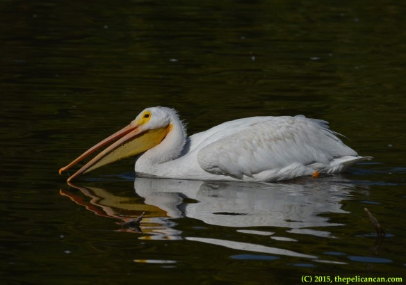 American white pelican (Pelecanus erythrorhynchos) sights trash to play with at White Rock Lake in Dallas, TX