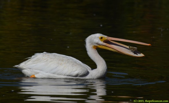 American white pelican (Pelecanus erythrorhynchos) plays with a stone at White Rock Lake in Dallas, TX