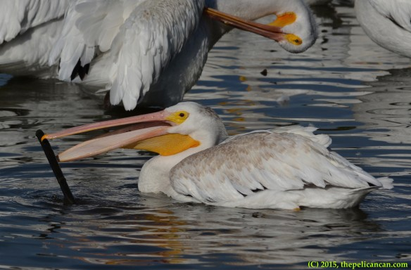 American white pelican (Pelecanus erythrorhynchos) plays with a branch at White Rock Lake in Dallas, TX
