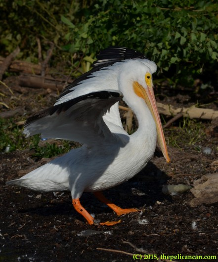 American white pelican walks on loafing grounds to find a place to sleep at White Rock Lake in Dallas, TX