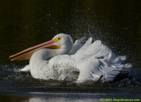 American white pelican (Pelecanus erythrorhynchos) bathing at White Rock Lake in Dallas, TX