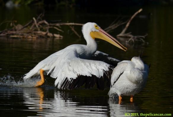 American white pelican (Pelecanus erythrorhynchos) runs to shore at White Rock Lake in Dallas, TX