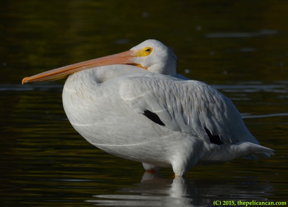 American white pelican (Pelecanus erythrorhynchos) loafs in shallow water at White Rock Lake in Dallas, TX