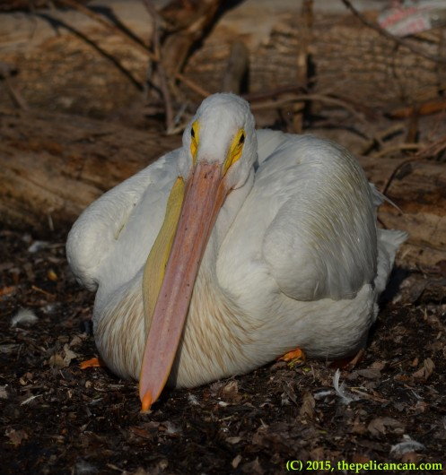 American white pelican (Pelecanus erythrorhynchos) lies on the ground, preparing to sleep, at White Rock Lake in Dallas, TX