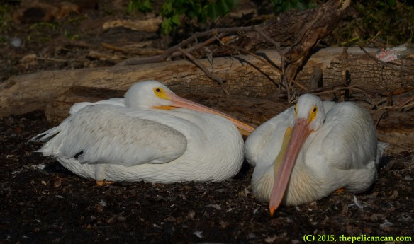 Two American white pelicans (Pelecanus erythrorhynchos) prepare to sleep at White Rock Lake in Dallas, TX