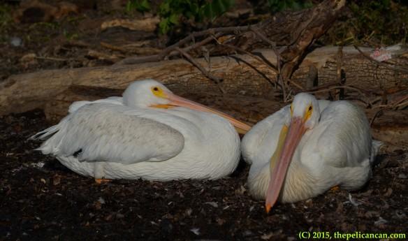Two American white pelicans (Pelecanus erythrorhynchos) prepare to sleep at White Rock Lake in Dallas, TX