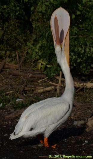 American white pelican (Pelecanus erythrorhynchos) performs a bill throw at White Rock Lake in Dallas, TX