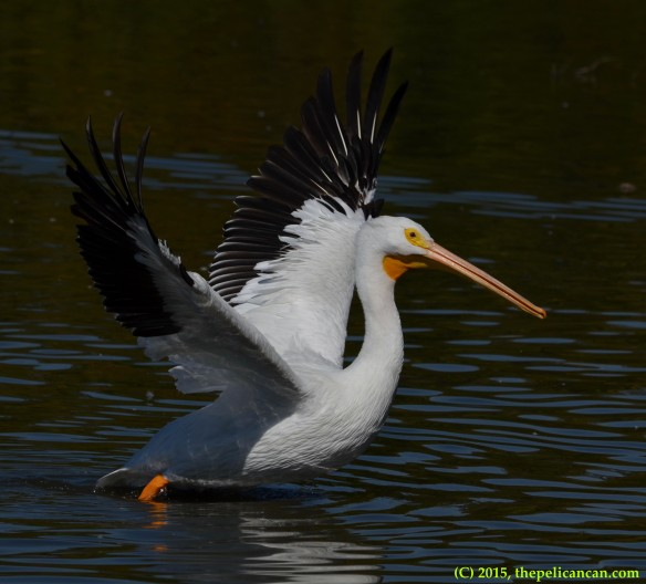 American white pelican (Pelecanus erythrorhynchos) runs to shore at White Rock Lake in Dallas, TX