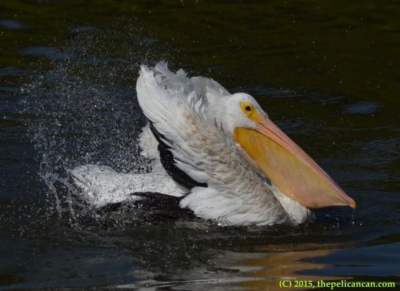 American white pelican (Pelecanus erythrorhynchos) bathing at White Rock Lake in Dallas, TX
