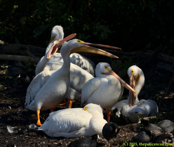 American white pelican (Pelecanus erythrorhynchos) jabs at another pelican on loafing grounds at White Rock Lake in Dallas, TX