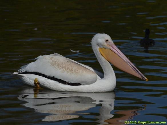 American white pelican (Pelecanus erythrorhynchos) swimming at White Rock Lake in Dallas, TX