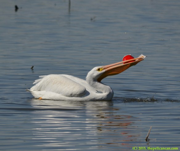 American white pelican (Pelecanus erythrorhynchos) playing with a red plastic cup at White Rock Lake in Dallas, TX