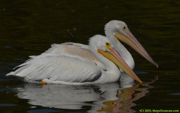 Two pelicans swim together at White Rock Lake in Dallas, TX