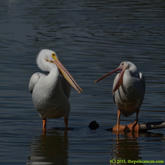 Two pelicans gape at each other while loafing at White Rock Lake in Dallas, TX