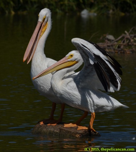 American white pelican (Pelecanus erythrorhynchos) lands on a loafing log occupied by another pelican at White Rock Lake in Dallas, TX