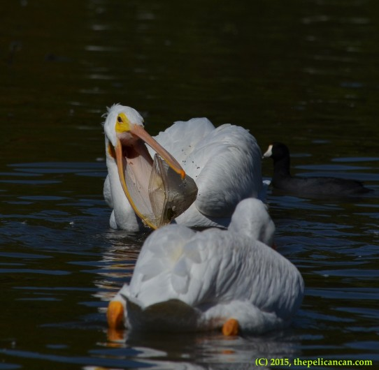 American white pelican (Pelecanus erythrorhynchos) plays with a plastic container at White Rock Lake in Dallas, TX