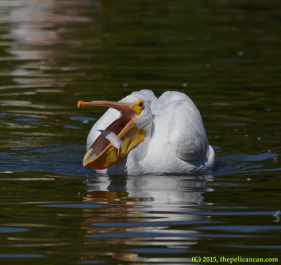 American white pelican plays with a feather at White Rock Lake in Dallas, TX