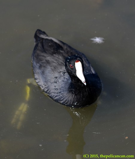 American coot (Fulica americana) in the water at White Rock Lake in Dallas, TX