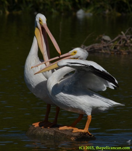 Two American white pelicans (Pelecanus erythrorhynchos) fight over their positions on a log at White Rock Lake in Dallas, TX