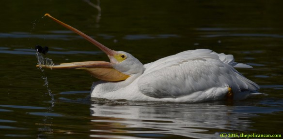 American white pelican (Pelecanus erythrorhynchos) playing with pecans at White Rock Lake in Dallas, TX